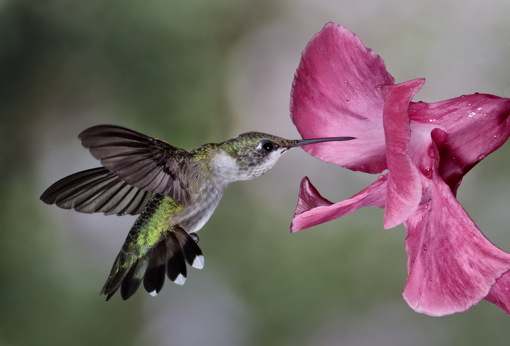 Lowcountry Hummingbirds Amp High Speed Photography